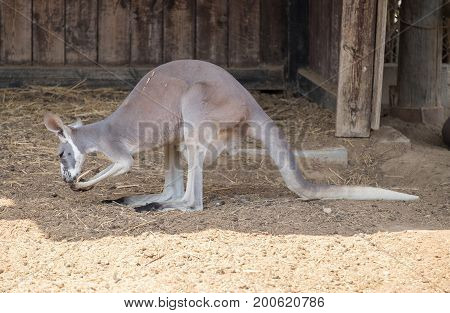 Eastern Grey Kangaroo (macropus Giganteus) At Beer-sheva Zoo. Israel