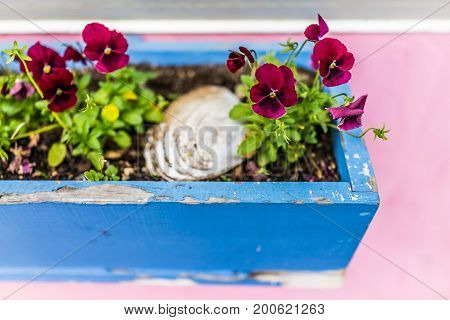 Colorful Purple Red Magenta Pansy Flowers In Flowerbed Crate On Windowsill Of Pink Painted House