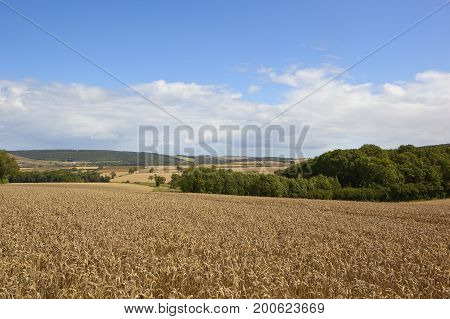 extensive ripe wheat crops with woodland and hillside scenery under a blue summer sky in the yorkshire wolds