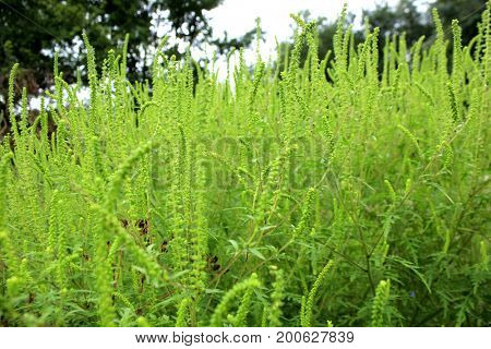 Ragweed plants (Ambrosia artemisiifolia) causing allergy