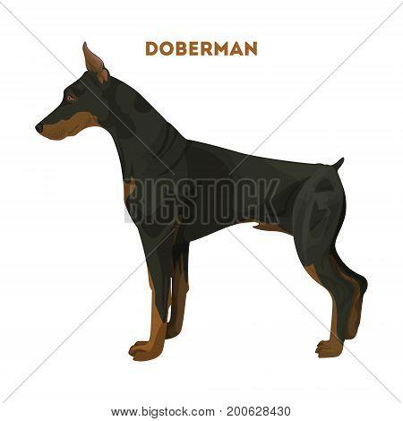 Isolated doberman dog on white background. Domestic animal.