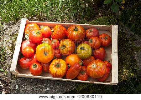 Assortment Of Organic Tomatoes In A Wooden Crate