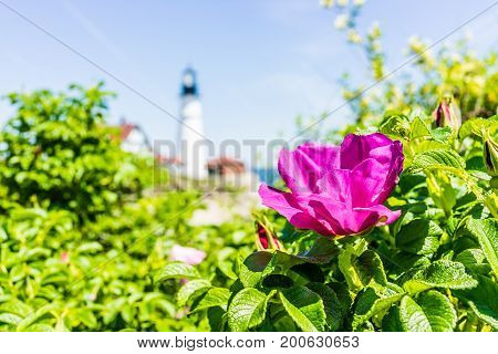 Macro Closeup Of Pink Rugosa Rose Rosehip Flower On Bush In Maine With Lighthouse In Background