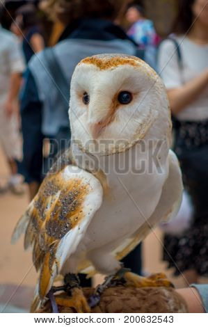 Close up of a beautiful owl posing over a woman wrist in the street in Akihabara owl cafe - owls are very popular pets in Japan.