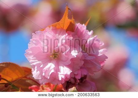 Close-up of pink flowers of japanese cherry tree in a garden during spring