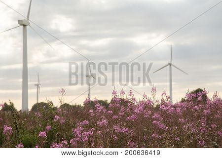 Chamerion angustifolium in field with wind mills