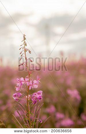Chamerion angustifolium flower closeup on blurred background