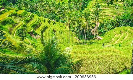 Amazing tegalalang Rice Terrace field covered by beautiful palm trees, Ubud, Bali, Indonesia.