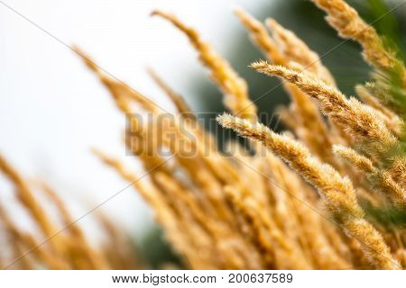Phalaris arundinacea or Reed canary grass. Beautiful marsh grass swinging in the wind