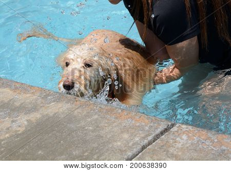 Teaching young labradoodle dog to learn how to swim and exit swimming pool
