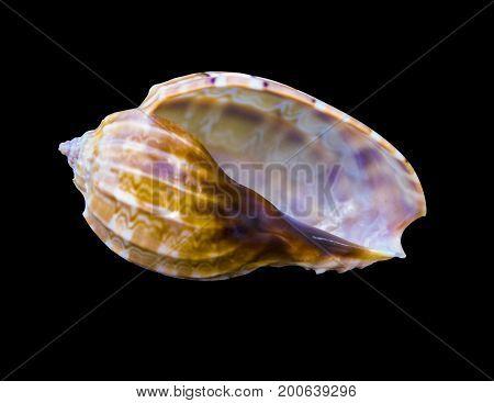 Seashell on a black background. sea shells of marine snail isolated