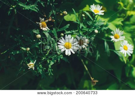 Camomiles are simple and very romantic flowers that grow almost everywhere