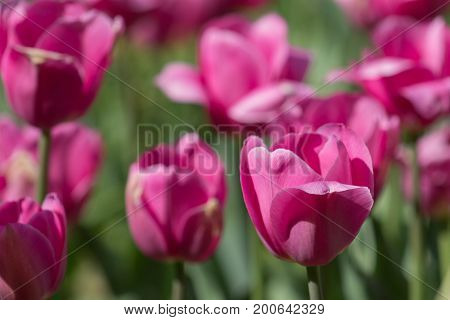 Beautiful bright pink tulip field on a spring or summer's day