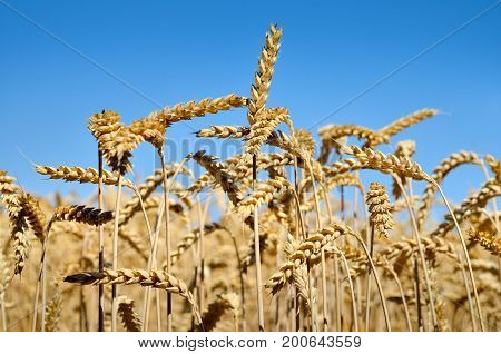 Spikes Of Wheat On The Background Of The Blue Sky