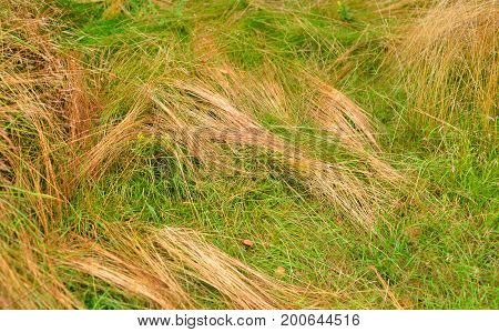 Dry grass and fresh grass close up can be used as a background.