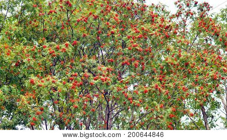 Red rowan berries on a green tree in august.
