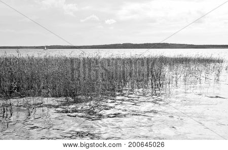 View of the lake overgrown sedge. Black and white.