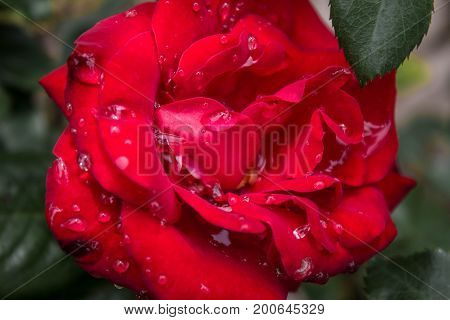 Vivid red rose with large raindrops just after a storm on a spring or summer's day.
