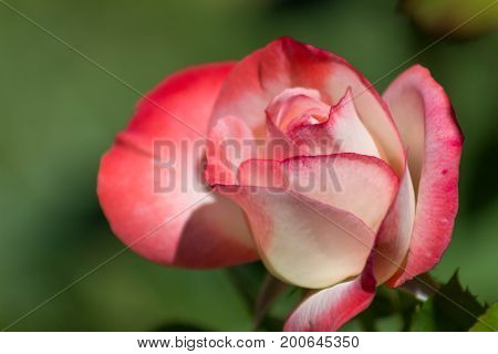 Beautiful sweet blooming multicolored rosebud isolated on a lush green garden background on spring or summer's day.