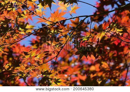 Background of Sycamore or maple multicolored autumn leaves in the blue sky.