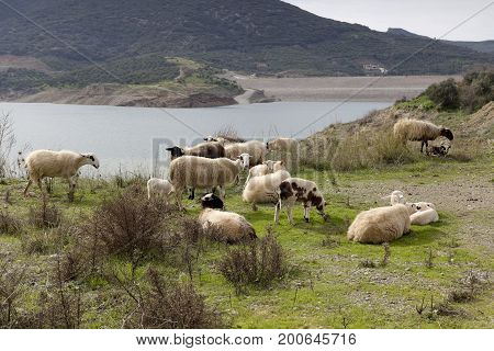 A flock of sheep grazing on highlands meadow close-up