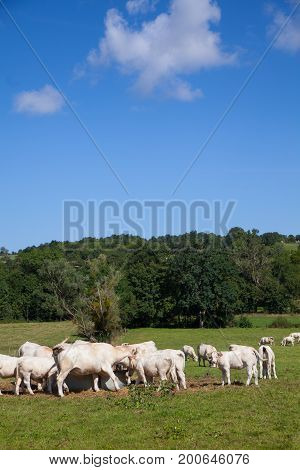 Herd Of Dairy Cows In The Berry Region, France