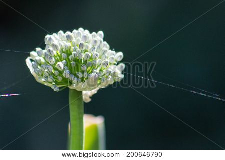 Close up of an isolated onion flowering in a garden with sunlight illuminating a spider's web.
