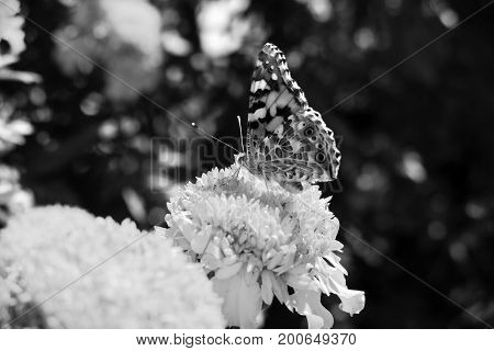 Painted Lady Butterfly (Vanessa cardui) takes nectar from plant. Butterfly is sitting on a yellow flower. Painted Lady resting in garden. Black and white butterfly (Vanessa Cardui). BW butterlfly