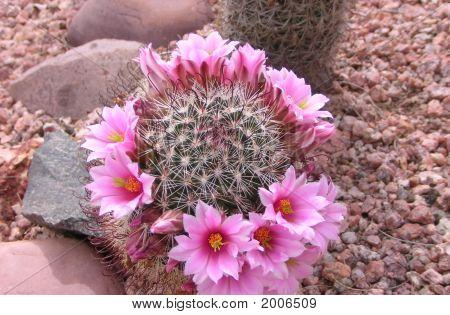 Crown Of Pink flowers