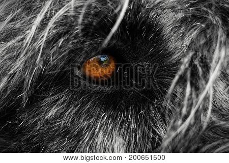 Close photo of Irish wolfhound, Eye details of dog. Black and white photo of Irish wolfhound macro eye. Colorful dog sight in winter time. Orange dogs eye. Close-up of eye Irish wolfhound.