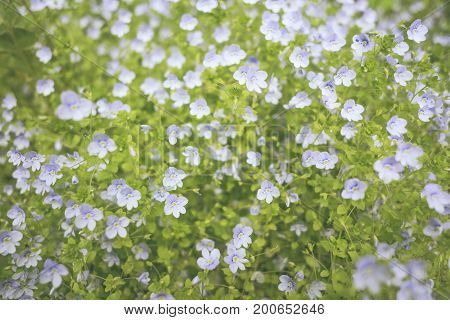 Beautiful Small Blue White Flowers Spring Cute Background.