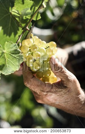 closeup of a senior caucasian man collecting a bunch of white grapes from the plant using pruning shears