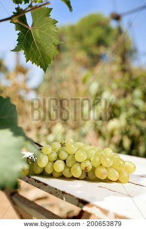 closeup of a ya bunch of white grapes on a rustic wooden table outdoors, in a farm