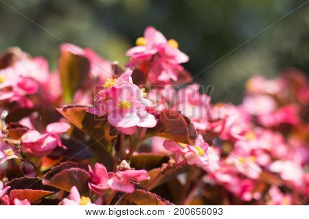 Beautiful pink azalea flowers in the summer time