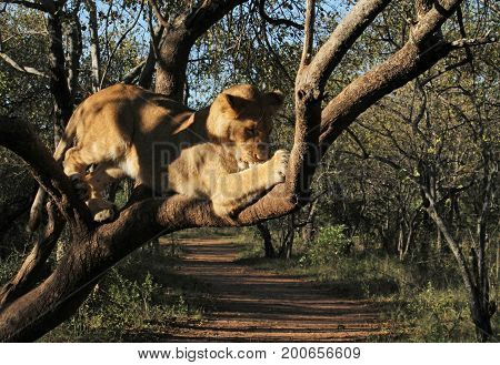Young lion devouring chicken in tree in South Africa