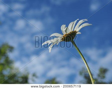 The Flower Bud Of The Daisy Against The Sky.
