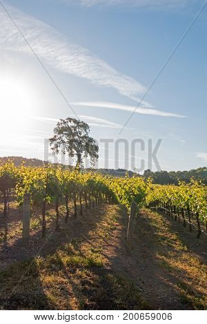 California Valley Oak Tree In Vineyard At Sunrise In Paso Robles Vineyard In The Central Valley Of C