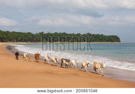 Cows Walking Along Butler Bay Beach At Little Andaman Island, Andamans, India. Andaman Islands Beaut