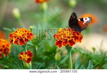 Red Admiral Butterfly, Vanessa atalanta, on a meadow. Peacock butterfly on marigold flower at summertime.Natural background of Marigold and Tagetes flowers in the meadow, selective focus.Beautiful summer garden in bloom