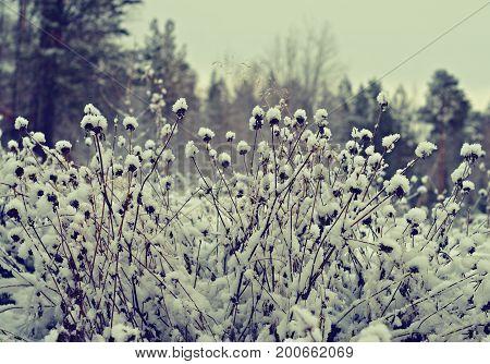 Winter scene .Frozenned flower .pine forest Winter snowflake Siberia  landscape. Winter beauty scene