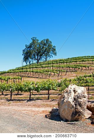 California Valley Oak Tree And Limestone Boulders In Vineyard In Paso Robles Vineyard In The Central