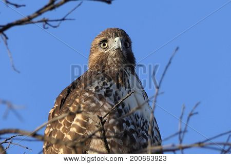 Close up of Red-tailed hawk in Oak Tree.  Shot in Ventura County, California.