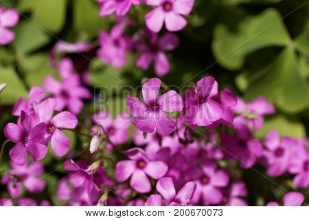 Flowers of a pink sorrel (Oxalis articulata)