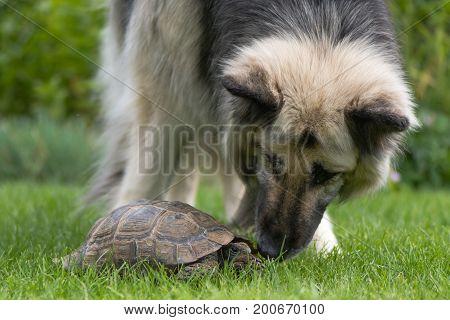 German shepherd dog investigating tortoise. Black and cream long-haired Alsatian sniffing pet tortoise on lawn