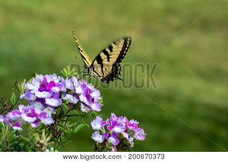 Two-tailed Swallowtail (Papilio multicaudata) This large yellow and black striped butterfly is truly a gift from nature. It has two tails and beautiful blue markings scaling across the hind wings. This butterfly is lovely and graceful yet it is so rarely