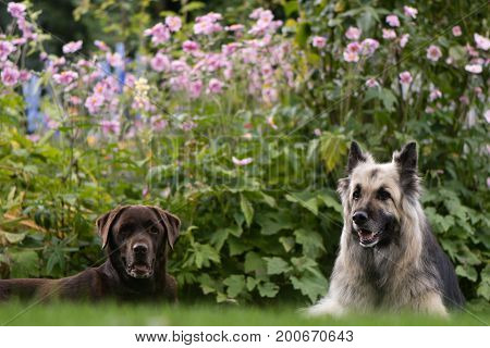 Chocolate labrador and German shepherd dogs. Black and cream long-haired Alsatian and lab in front of English cottage garden flowers