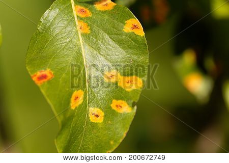 Pear rust disease Gymnosporangium sabinae on a leaf.