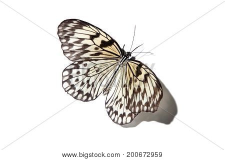 Malayan Tree Nymph Butterfly Isolated On White