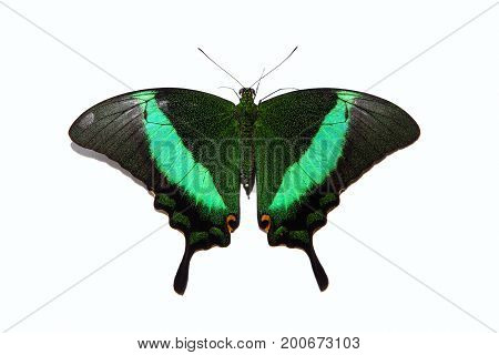 Papilio Blumei Butterfly Isolated On White