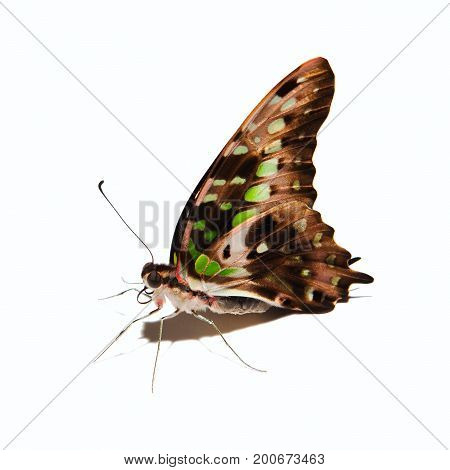 Graphium Agamemnon Butterfly Isolated On White